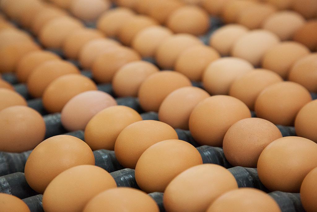 Venta de huevos al por mayor de granja