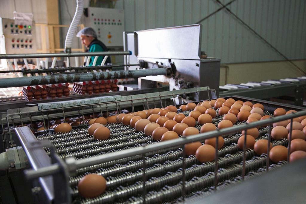 Produciendo Huevos al por Mayor